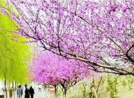 赏花季分不清樱花桃花梨花